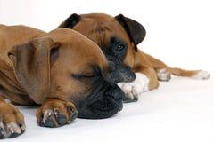 Boxeador del perrito con el padre Fotos de archivo libres de regalías