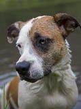 Boxeador mezclado de la raza, labrador retriever, perro azul del curador Foto de archivo libre de regalías