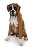 Boxeador rojo de la raza del perro en un fondo blanco. Fotografía de archivo libre de regalías