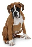 Boxeador rojo de la raza del perro en un fondo blanco. Fotos de archivo libres de regalías
