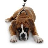 Boxeador rojo de la raza del perro un fondo blanco. Foto de archivo libre de regalías