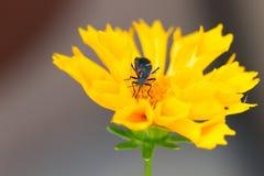 Boxelder Bug, Boisea trivittata Stock Photos