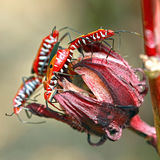 Boxelder Bug. S on a flower head in Malaysia Royalty Free Stock Photography