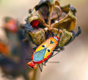 Boxelder Bug. A Boxelder Bug on a flower head in Malaysia Royalty Free Stock Images