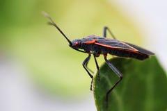 Boxelder bug Royalty Free Stock Photography