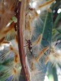 Boxelder bug in oleander pod Stock Image