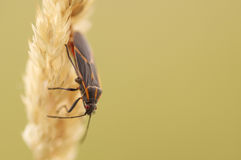 Boxelder bug on yellow grass in fall.  Stock Photo