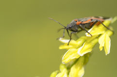 Boxelder bug. On a yellow wildflower Stock Photos