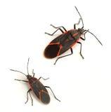 Boxelder Bugs. Eastern boxelder bug (Boisea trivittata) on a white background Stock Photography