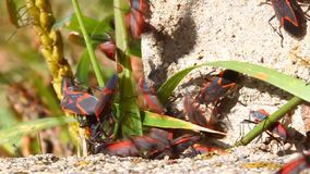 Boxelder Bugs (Boisea trivittata) Illinois stock video