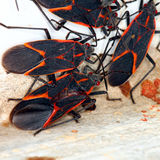 Boxelder Bugs (Boisea trivittata) in Illinois Royalty Free Stock Photo