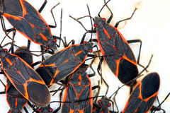 Boxelder Bugs (Boisea trivittata) in Illinois stock images