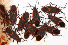 Boxelder Bugs in Illinois Stock Image