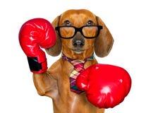 Boxeo del perro de salchicha del perro basset como el jefe fotografía de archivo