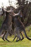 Boxeo KangaROOS fotografía de archivo libre de regalías