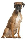 Boxer, 12 Monate alte, sitzend Stockbild