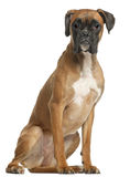 Boxer, 12 months old, sitting Stock Image