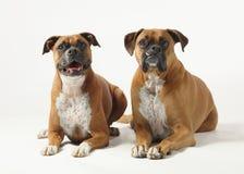 Boxer Stockfotos