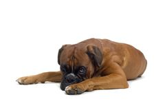 Boxer. Brown boxer laying down and looking up Royalty Free Stock Image