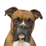 Boxer (2 years). In front of a white background Stock Image