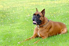 Boxer. A boxer dog lying in the grass Royalty Free Stock Photo