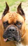 Boxer. A portrait of a cute boxer dog royalty free stock photos