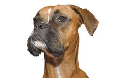 Boxer. Isolated Boxer Royalty Free Stock Photo