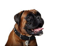 Boxer. Closeup of a Boxer with a happy expression.  This Dog is from European Bloodlines and has uncropped ears Royalty Free Stock Photos