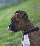 Boxer. Puppy watching kids play Stock Images