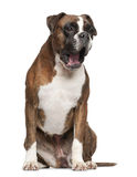 Boxer, 3 years old, yawning sitting Stock Images