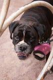 Boxer_5 fotografía de archivo libre de regalías