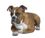Boxer, 5 months old, lying on table Royalty Free Stock Photos