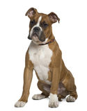Boxer, 5 months old, sitting in front of white Royalty Free Stock Photos