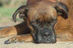 Boxer. Brindle boxer portrait Royalty Free Stock Photography