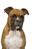 Boxer (). In front of a white background Royalty Free Stock Image