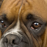 Boxer () Stock Photography