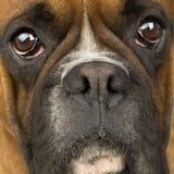 Boxer () Royalty Free Stock Image