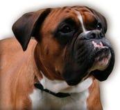 Boxer Lizenzfreies Stockfoto