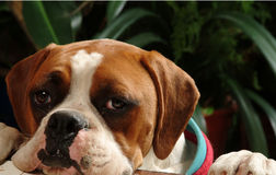 Boxer. A boxer looking at me, waiting his food royalty free stock photography