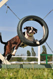 Boxer in agility Stock Photography