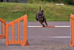 Boxer in agility action Stock Photography
