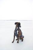Boxer auf Eis Stockbilder