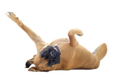 Boxer on the back. Purebred boxer lying down on the back in front of a white background Royalty Free Stock Image
