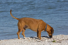Boxer Basset mixed breed dog. Royalty Free Stock Images