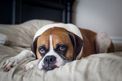 Boxer in Bed Stock Image