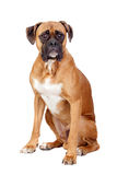 Boxer breed dog Stock Photos