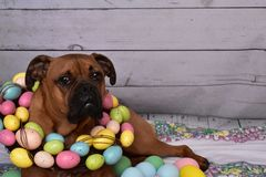 Boxer breed dog Easter portrait wearing an Easter egg wreath. Easter portrait of a boxer breed dog wearing an Easter egg wreath royalty free stock photos