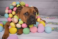 Boxer breed dog Easter portrait wearing an Easter egg wreath. Easter portrait of a boxer breed dog wearing an Easter egg wreath stock photography