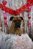 Boxer Breed Dog Valentine`s Day Portrait Stock Photos