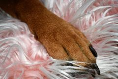 Boxer Breed Dog Valentine`s Day Portrait stock images
